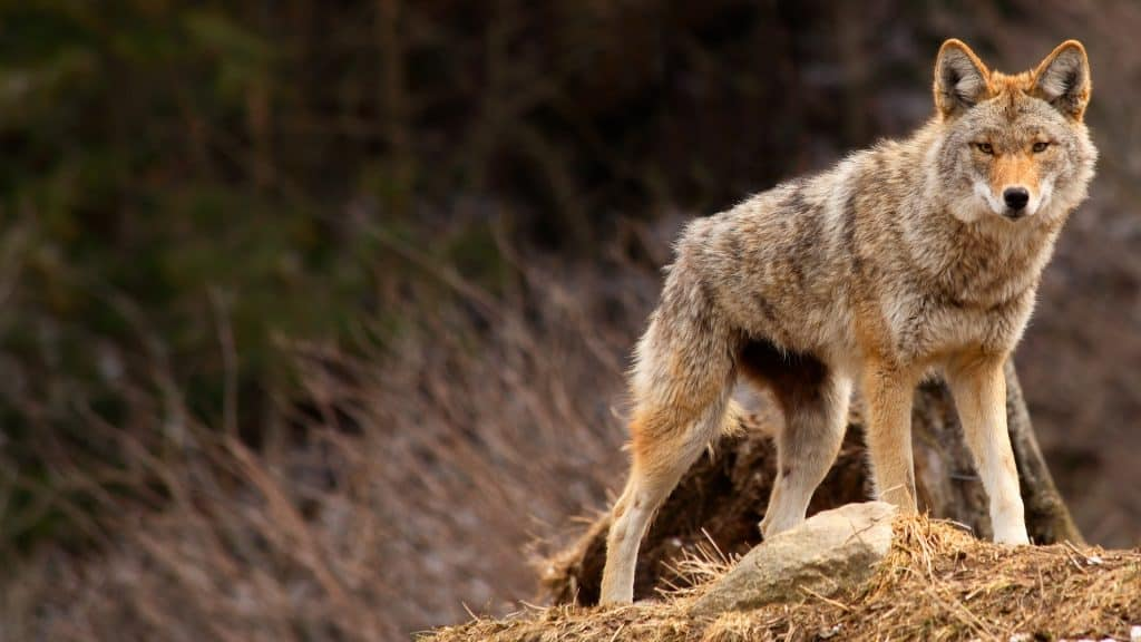 Reviews of the best electronic coyote callers